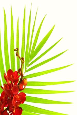 flores exoticas: Hojas de palmera fresca con rojo orquídea aislado sobre fondo blanco, frontera floral spa Foto de archivo