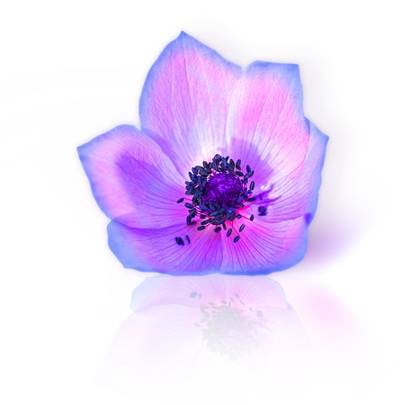 Macro of fresh spring purple wild flower head isolated on white background Stock Photo - 9179193