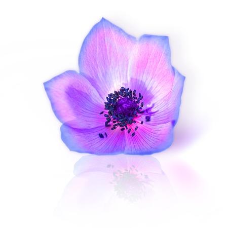 Macro of fresh spring purple wild flower head isolated on white background photo