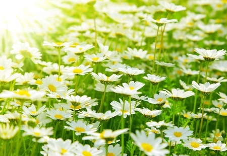 chamomile flower: Spring meadow of white fresh daisy flowers with bright sun light, natural landscape
