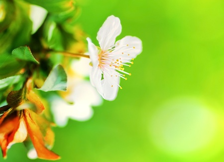 Almond tree blossom at spring over green natural background, selective focus photo