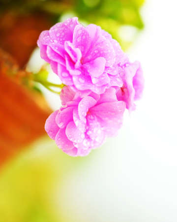 Pink fresh spring wet flowers outdoor photo