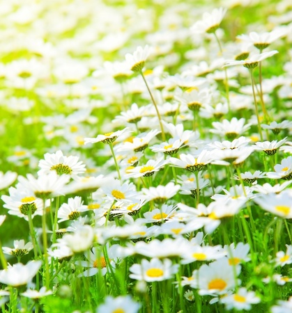 Spring meadow of white fresh daisy flowers with bright sun light, natural landscape photo