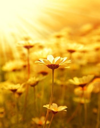 Fresh daisy flower field background at sunny spring day, sunset macro outdoor scene  Stock Photo - 9327301