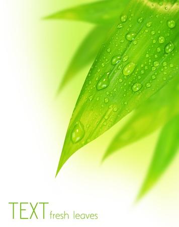 young leaf: Fresca primavera verde deja la frontera, con gotas de agua aislados sobre fondo blanco
