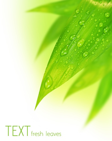 dew: Fresh green spring leaves border, with water drops isolated on white background Stock Photo