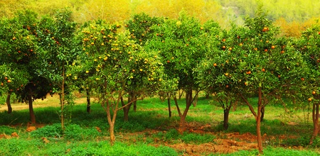 Ripe mandarin trees growing in the farm garden, agriculture industry? photo