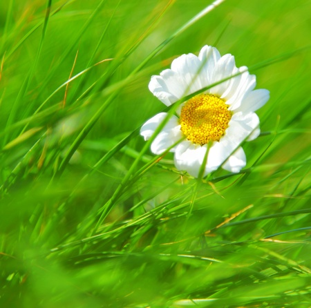 Abstract daisy flower over green grass background? Stock Photo - 9482351