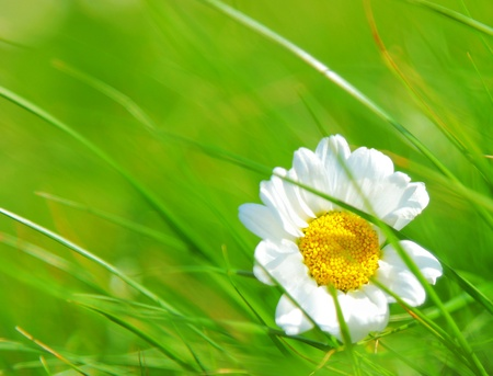 Abstract daisy flower over green grass background? Stock Photo - 9482352