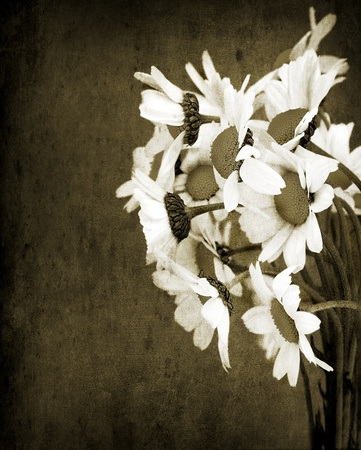 Old grunge picture of daisy flowers bouquet isolated on dirty wall background, sepia toned  photo