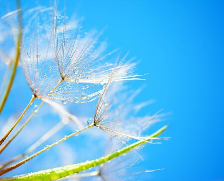 Soft dandelion flowers macro with dew drops over sky blue background photo