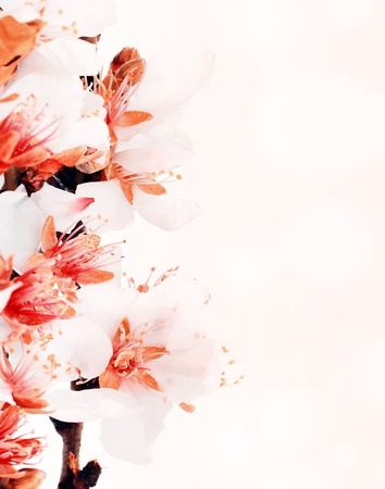 almond tree: Almond tree blossom flower over pink bokeh background, spring nature