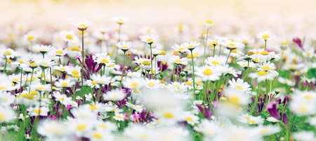 wildflowers: Spring field of white fresh daisies, natural panoramic landscape Stock Photo