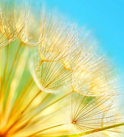 Soft dandelion flowers macro border over sky blue background photo