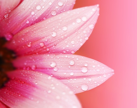 Pink flower petals, ?macro on flower, beautiful abstract background Stock Photo - 9590989