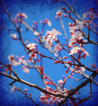 Cherry tree blossom flowers at spring over blue sky background