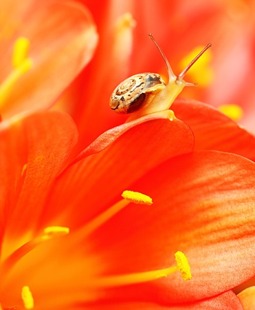 Macro on tiny snail resting on the petals of red flower Stock Photo - 9590414