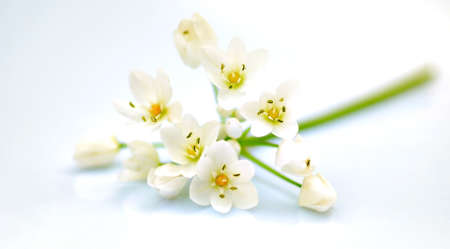 Fresh white spring flowers isolated, selective focus Stock Photo - 9589987