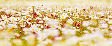Spring field of white fresh daisies, natural panoramic landscape photo