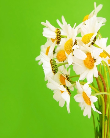 Fresh daisy flowers bouquet isolated over green background photo