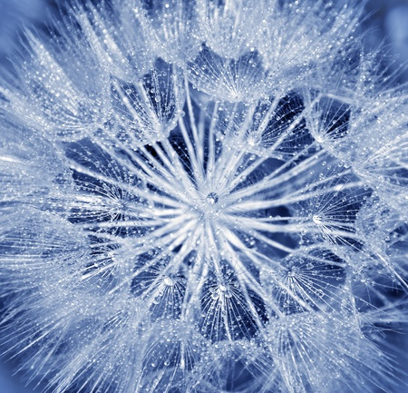 Background of dandelion flower, extreme closeup, abstract blue nature background photo