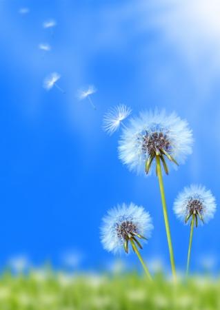 viento soplando: Campo de flores de diente de Le�n en el cielo azul Foto de archivo