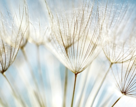 Blue abstract dandelion flower background, extreme closeup with soft focus, beautiful nature details photo