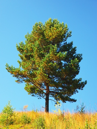 pine spruce: Single tree on the field, beautiful natural summer landscape, pine tree over blue sky