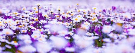 fleurs des champs: Champ de printemps de blancs frais marguerites, paysage panoramique Banque d'images