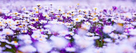 daisy field: Spring field of white fresh daisies, natural panoramic landscape Stock Photo