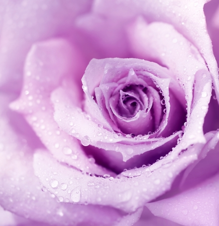 Abstract purple wet rose background, beautiful macro flower with morning dew photo