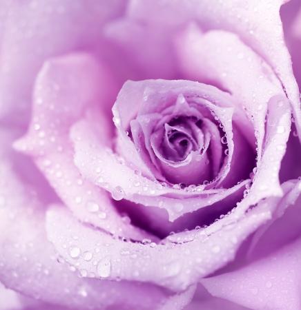 morado: Wet p�rpura abstracto rose fondo, flor hermosa macro con Roc�o de ma�ana