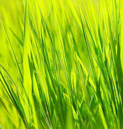 Fresh green grass background, spring nature photo