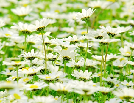 Spring meadow of white fresh daisy flowers, natural landscape Stock Photo - 9824648
