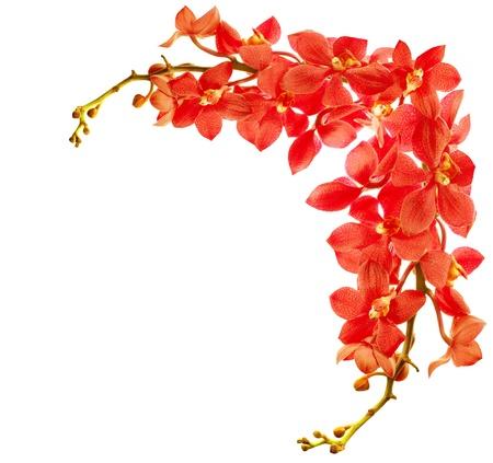 Frontera roja fresca flor orquídea aislada sobre fondo blanco