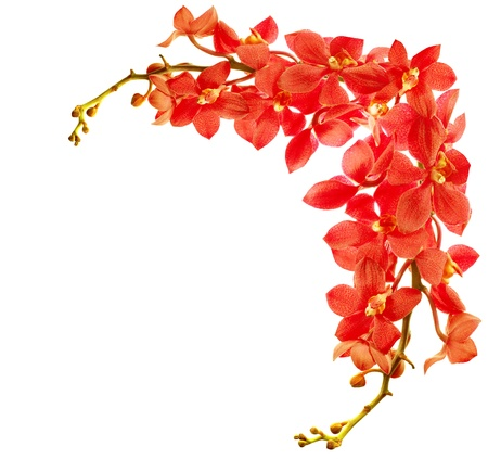 borde de flores: Frontera roja fresca flor orqu�dea aislada sobre fondo blanco Foto de archivo