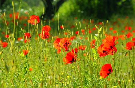 Fresh red puppy meadow, natural spring landscape, flower field in the sunny forest photo