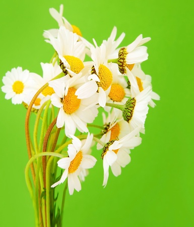 chamomile flower: Fresh daisy flowers bouquet isolated over green background
