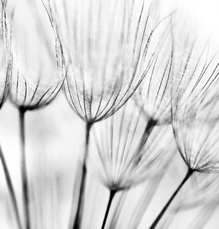 black beauty: Black and white abstract dandelion flower background, extreme closeup with soft focus