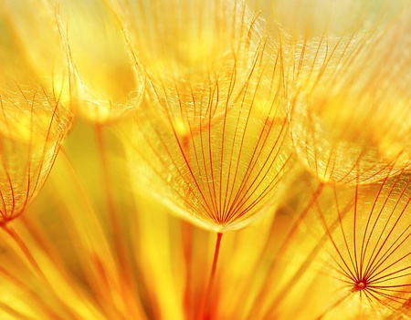 Abstract dandelion flower background, extreme closeup with soft focus, beautiful nature details Stock Photo