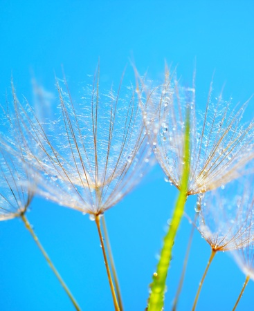 Soft dandelion flower head macro with dew drops over blue sky background Stock Photo - 9824658