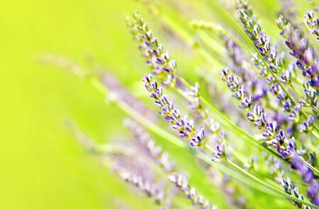 lavander: Fresh lavender field, beautiful natural border, floral background, macro on tiny flowers