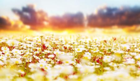 De lentegebied van witte verse madeliefjes, natuurlijk panoramisch landschap over de achtergrond van de zonsonderganghemel