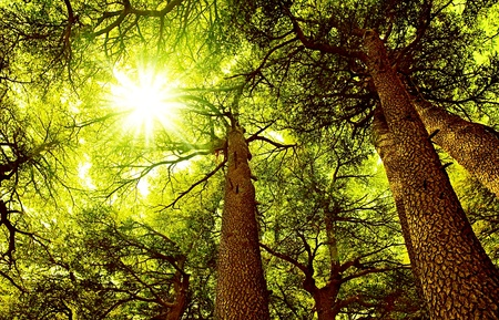 Sunny Cedar forest background, old rare trees, sunrise with rays of sun light coming through the branches