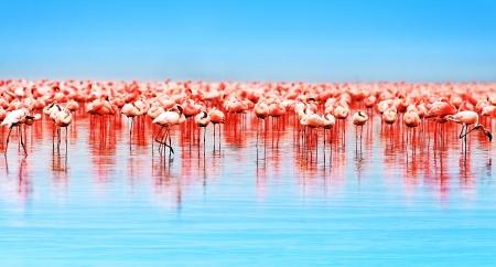bandada pajaros: Flamingo aves en el lago Nakuru, safari africano, Kenia