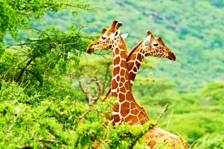 animals together: African giraffes family, two animals fighting with necks, beauty of wildlife, safari travel