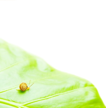 Little snail on the green leaf, isolated on white background photo