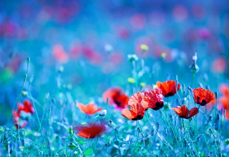 Poppy flower field at night with a dreamy blue cast and selective soft focus, natural background of wild summer nature Stock Photo