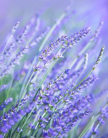 lavanda: Campo de flores de lavanda, flor silvestre arom�tico p�rpura fresco, fondo natural, macro con foco suave