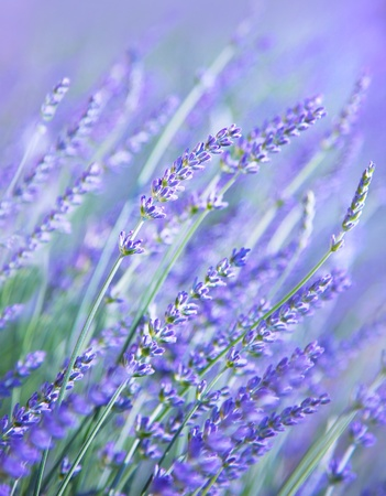 Lavender flower field, fresh purple aromatic wildflower, natural background, macro with soft focus photo
